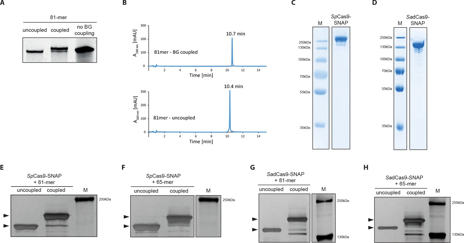 Covalent Linkage Of The Dna Repair Template To The Crispr Cas9