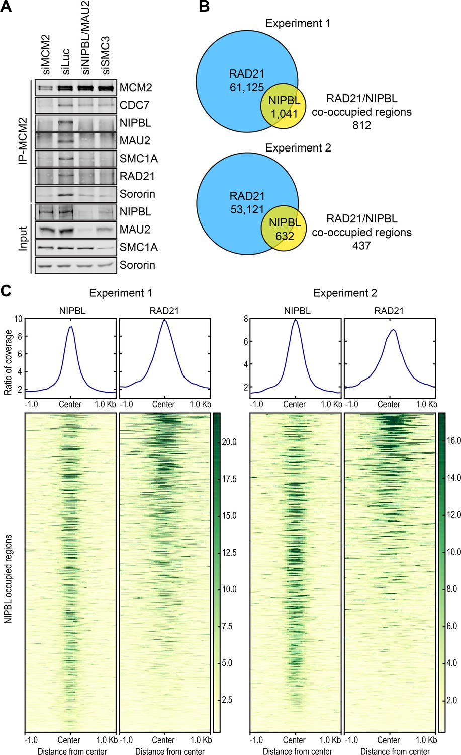 MCM2–7-dependent cohesin loading during S phase promotes sister