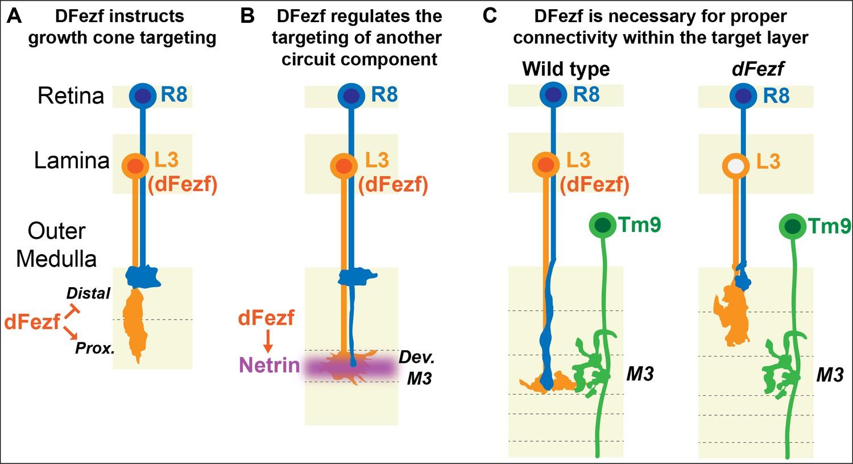 Drosophila Fezf coordinates laminar-specific connectivity