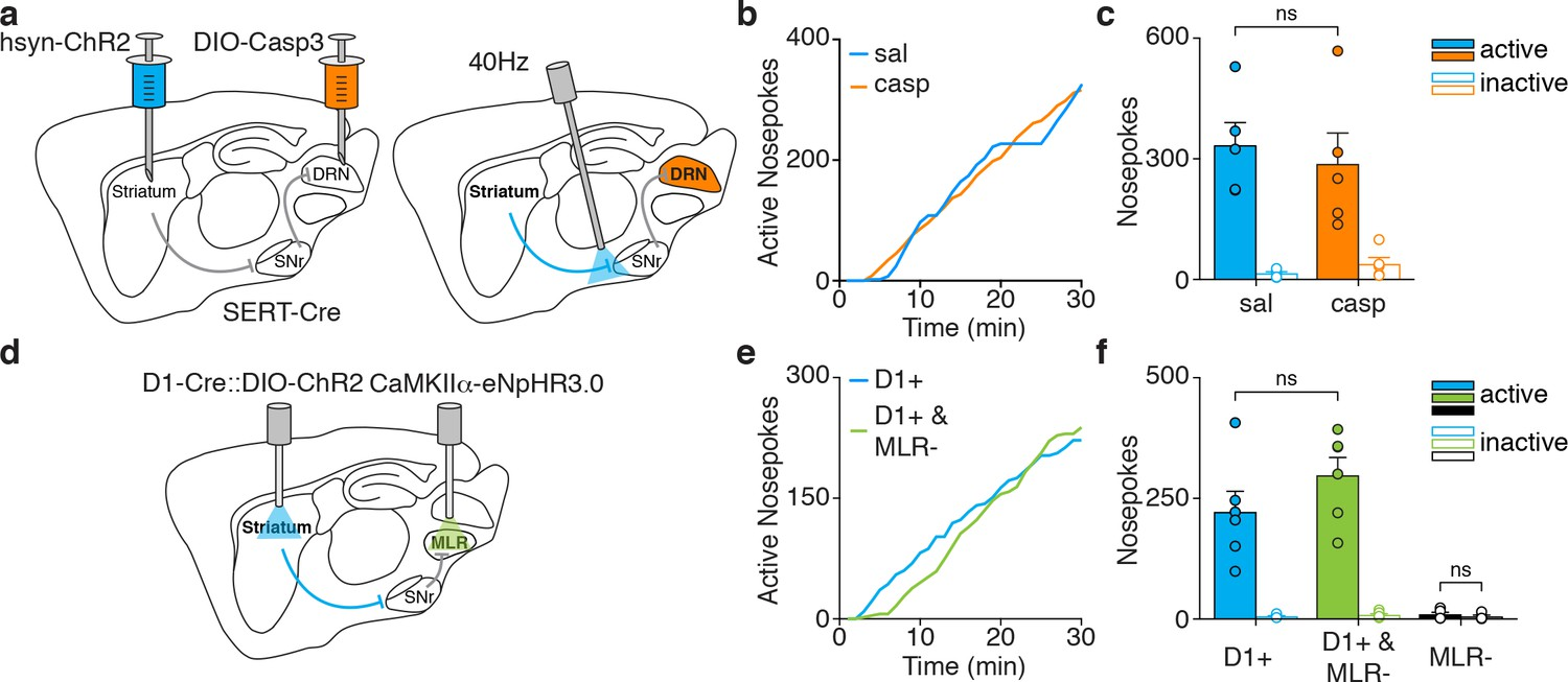 Motor Thalamus Supports Striatum Driven Reinforcement Elife Silicon Bilateral Switch Silencing Drn Serotonergic Neurons Or Mlr Glutamatergic Does Not Disrupt Dmsn Self Stimulation