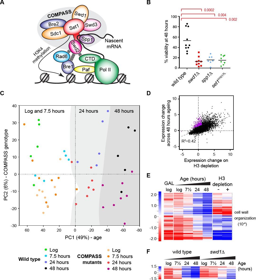 Tri-methylation of histone H3 lysine 4 facilitates gene expression