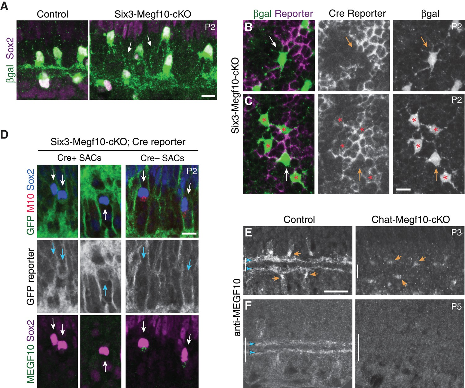Formation Of Retinal Direction Selective Circuitry Initiated By Atb Motor Wiring Diagram Megf10 Cell Autonomy Characterization Conditional Mutant Mice