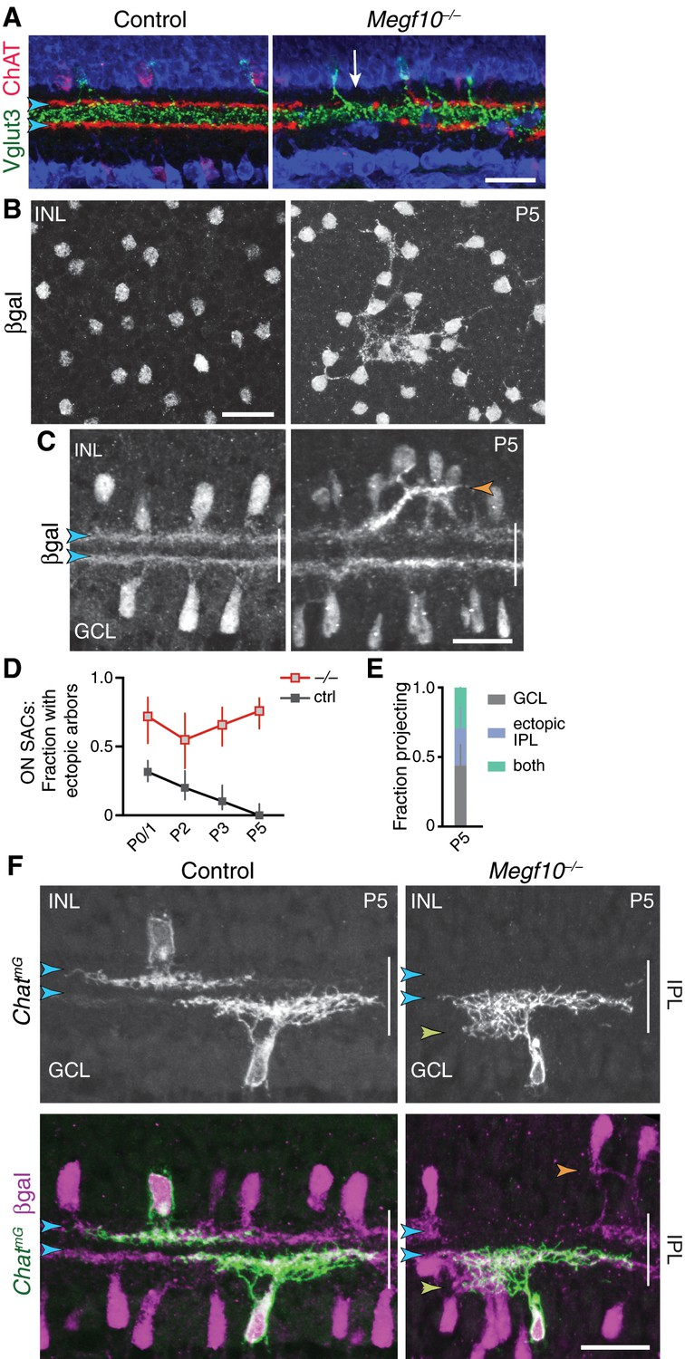 Formation Of Retinal Direction Selective Circuitry Initiated By Atb Motor Wiring Diagram Sac Phenotypes In Megf10 Mutants At P5 And Maturity