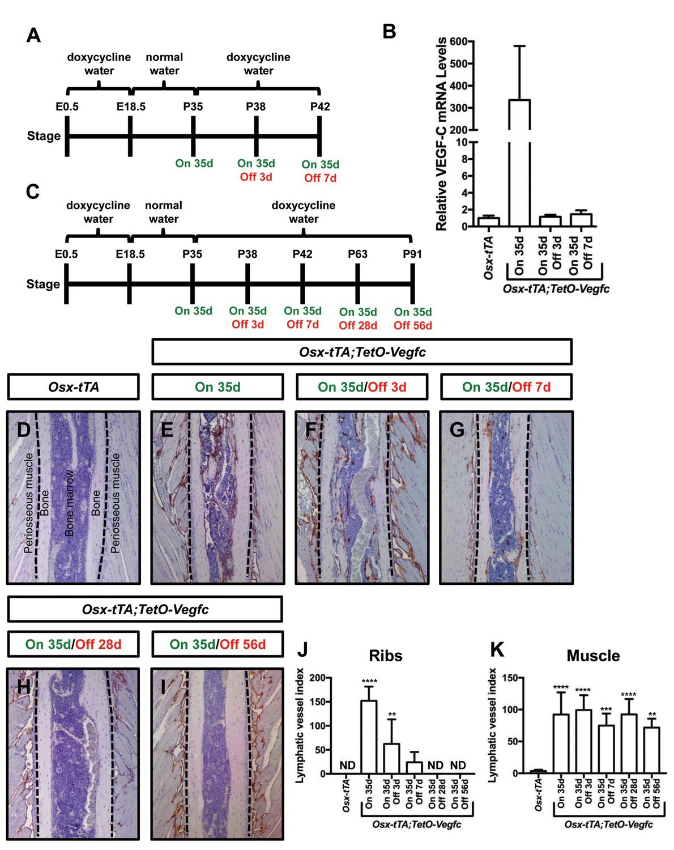 Vegf C Promotes The Development Of Lymphatics In Bone And Bone Loss