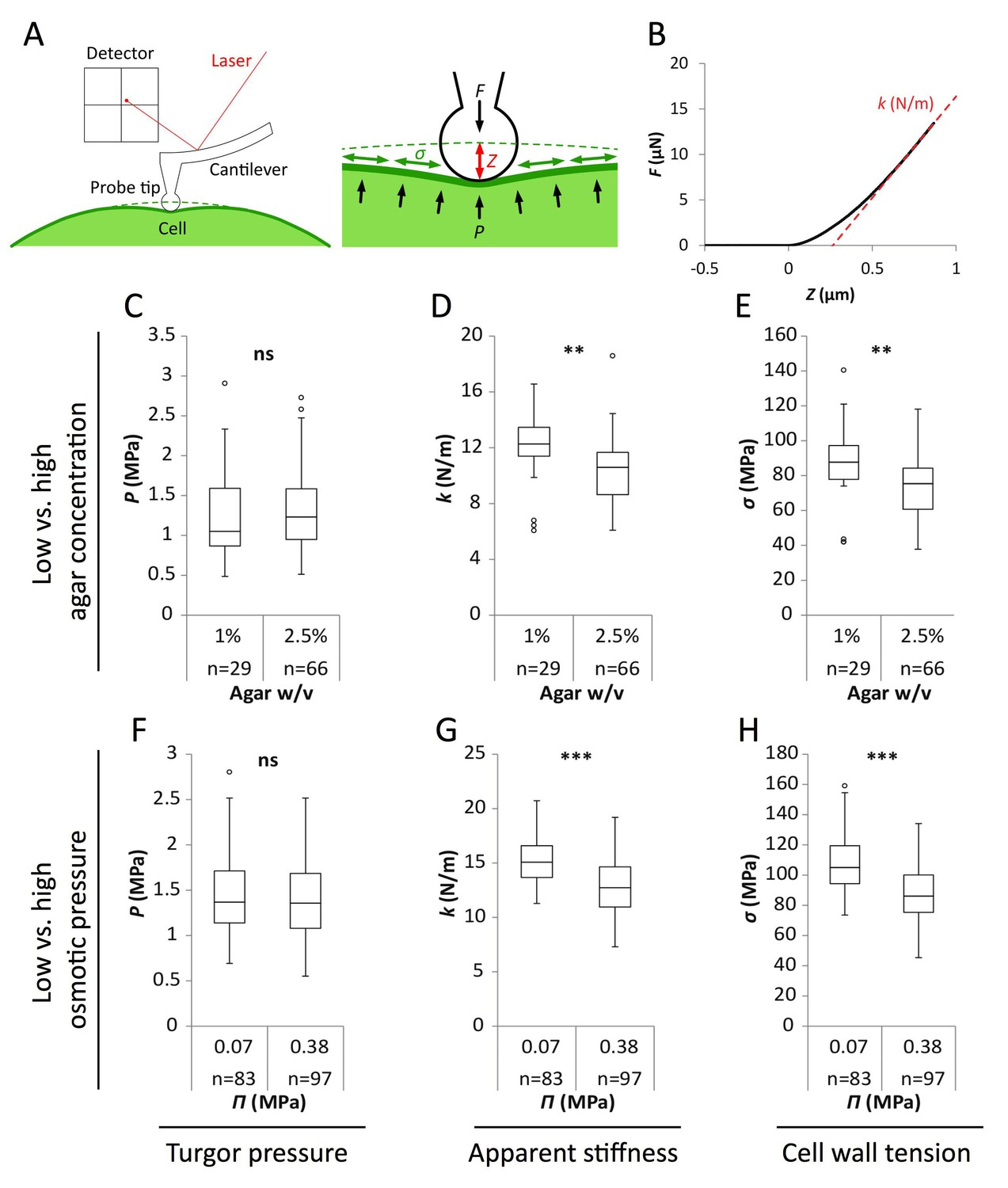 A Tension Adhesion Feedback Loop In Plant Epidermis Elife Cantilever Diagram Registration To Strength The Pdf Reduced Water Potential Growth Medium Causes Decrease Pavement Cell Stiffness And Wall Not Turgor Pressure Schematic Representation