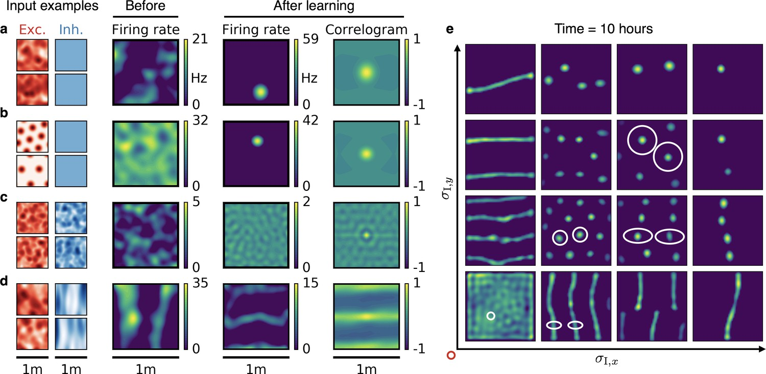 Learning place cells, grid cells and invariances with excitatory and