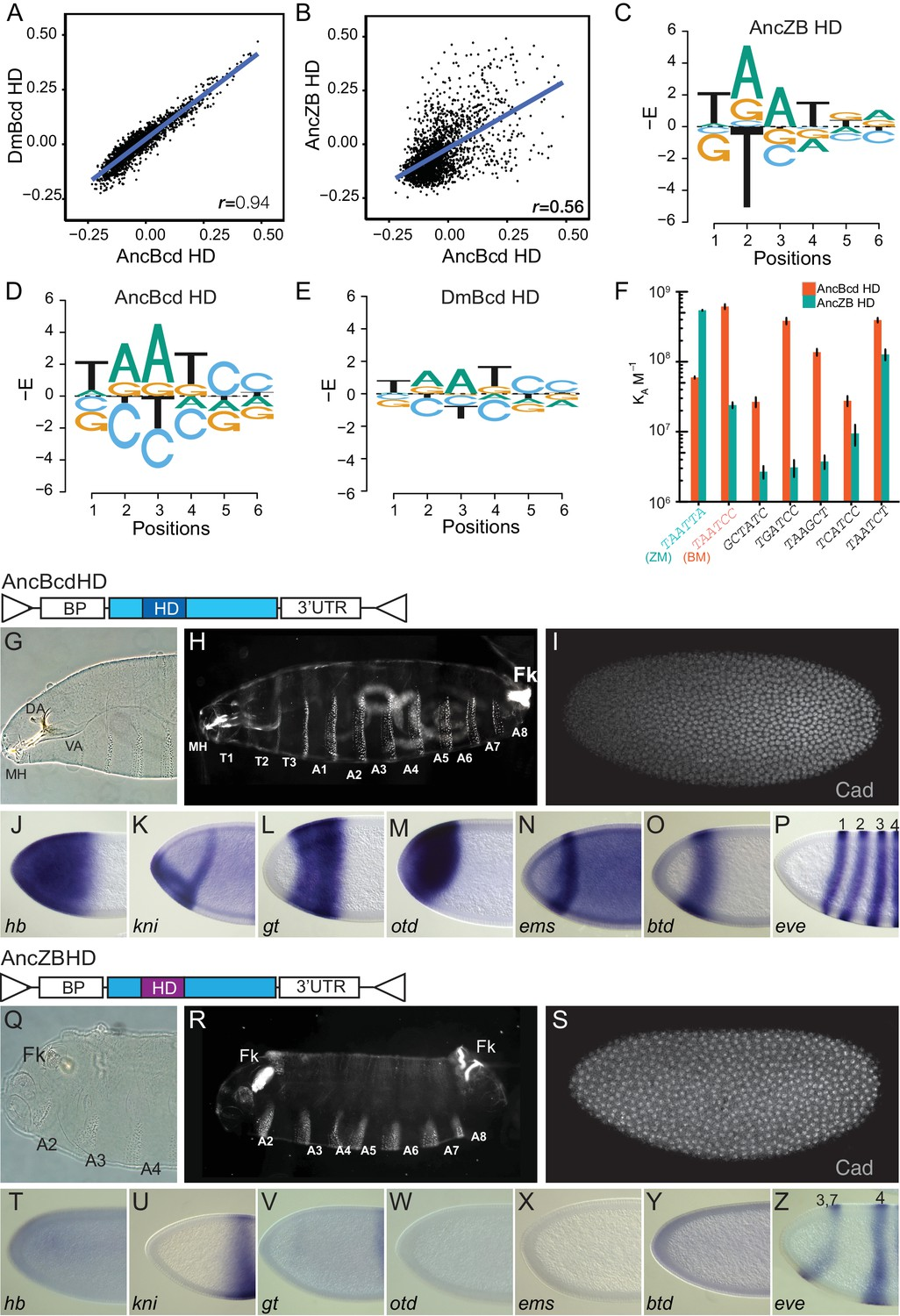 Ancient mechanisms for the evolution of the bicoid homeodomain's