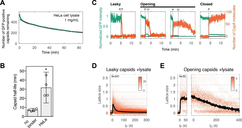 Kinetics of HIV-1 capsid uncoating revealed by single