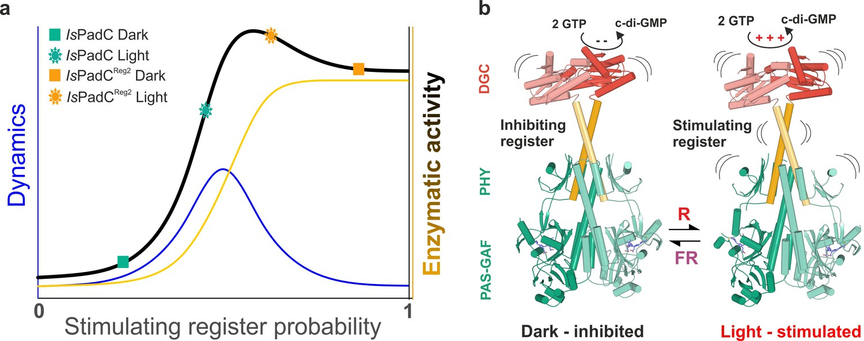 Asymmetric activation mechanism of a homodimeric red light