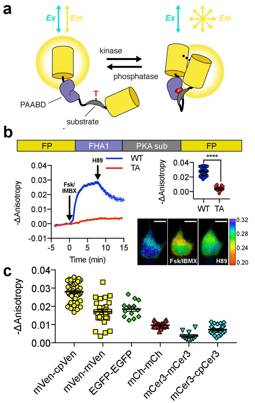 Single Color Ratiometric Biosensors For Detecting Signaling Figure1 Sensor Circuit Design And Characterization Of Flare Akar