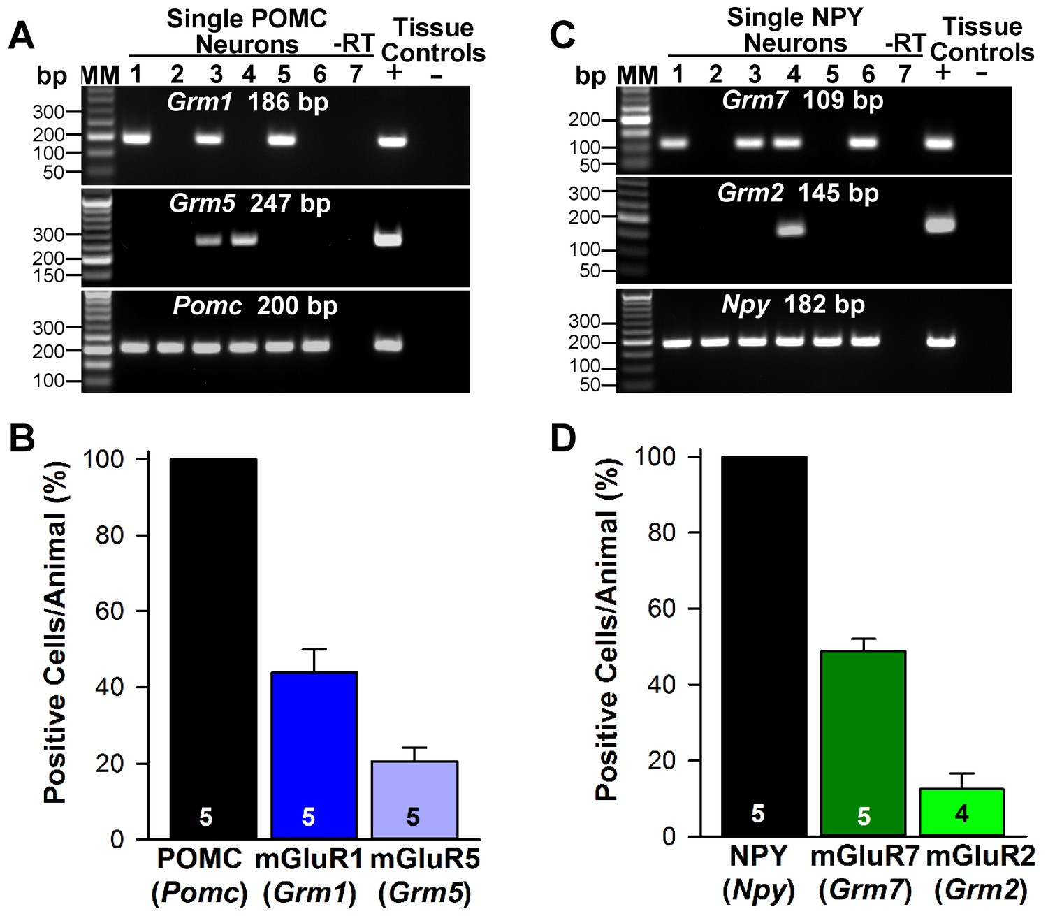 Estrogenic Dependent Glutamatergic Neurotransmission From Kisspeptin Circuit Schematic As Well Mobile Phone Jammer Diagram On Cell Metabotropic Glutamate Receptor Expression In Pomc And Npy Neurons