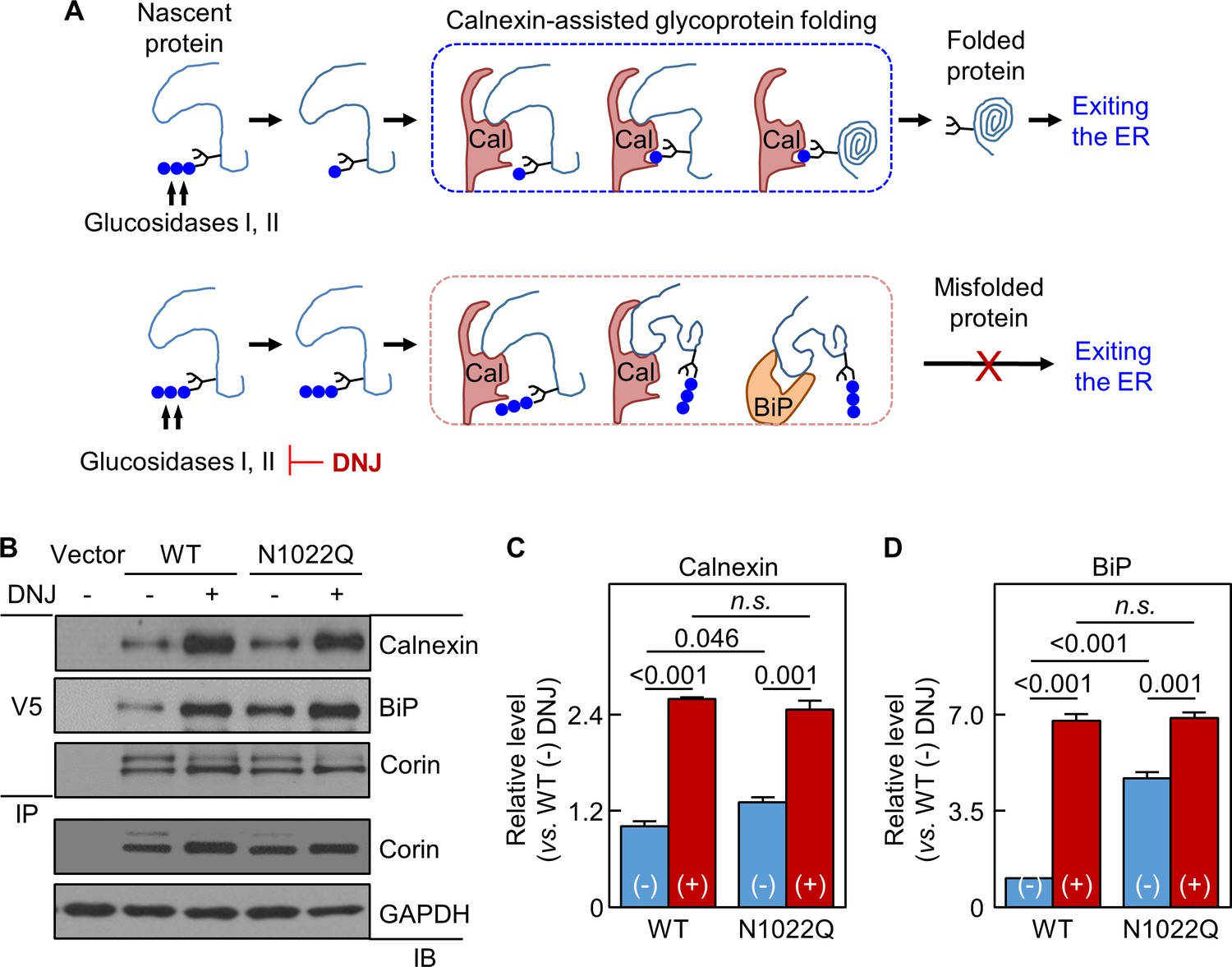 N-glycosylation in the protease domain of trypsin-like