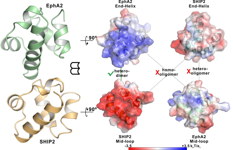 specific eph receptor cytoplasmic effector signaling mediated by sam
