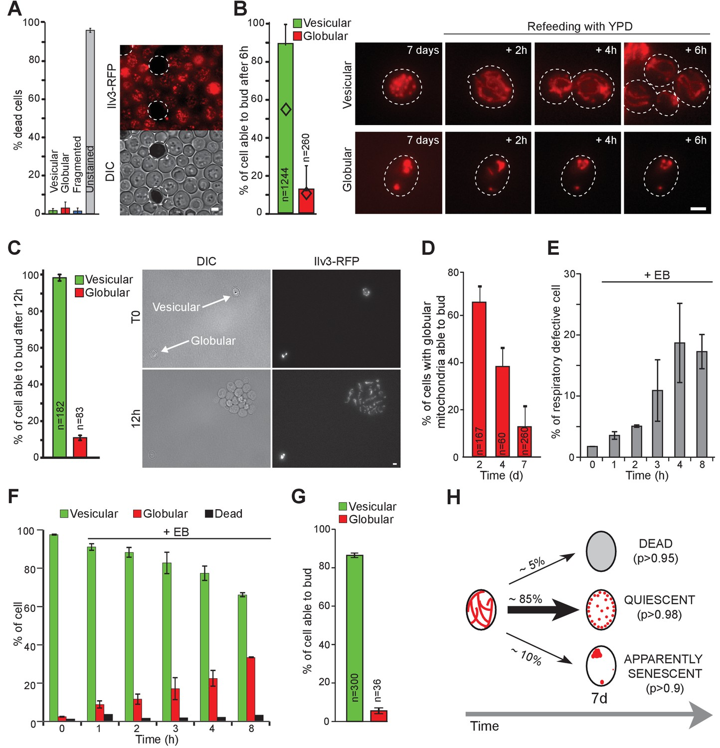 Mitochondria Reorganization Upon Proliferation Arrest Predicts Ir Light Dimmer V1 Mitochondrial Network Can Predict Cell Fate