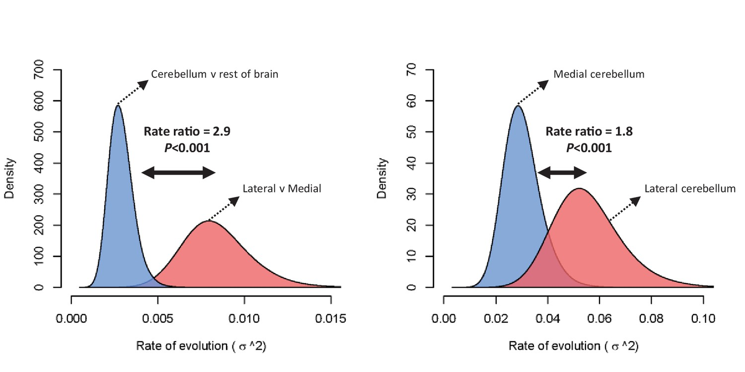 Rate of evolution (σ2) for relative cerebellum size and lateral-medial  cerebellar reorganization (left panel), and medial and lateral cerebellar  volume ...
