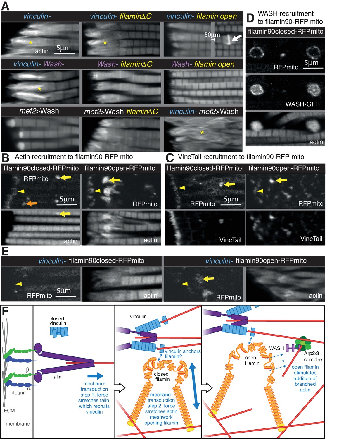 Novel functions for integrin-associated proteins revealed by