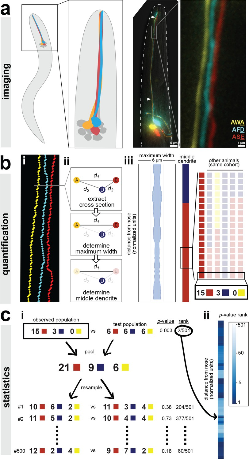 Ordered Arrangement Of Dendrites Within A C Elegans Sensory Nerve Wiring Zig Unit Semi Automated Method For Quantifying Dendrite Order