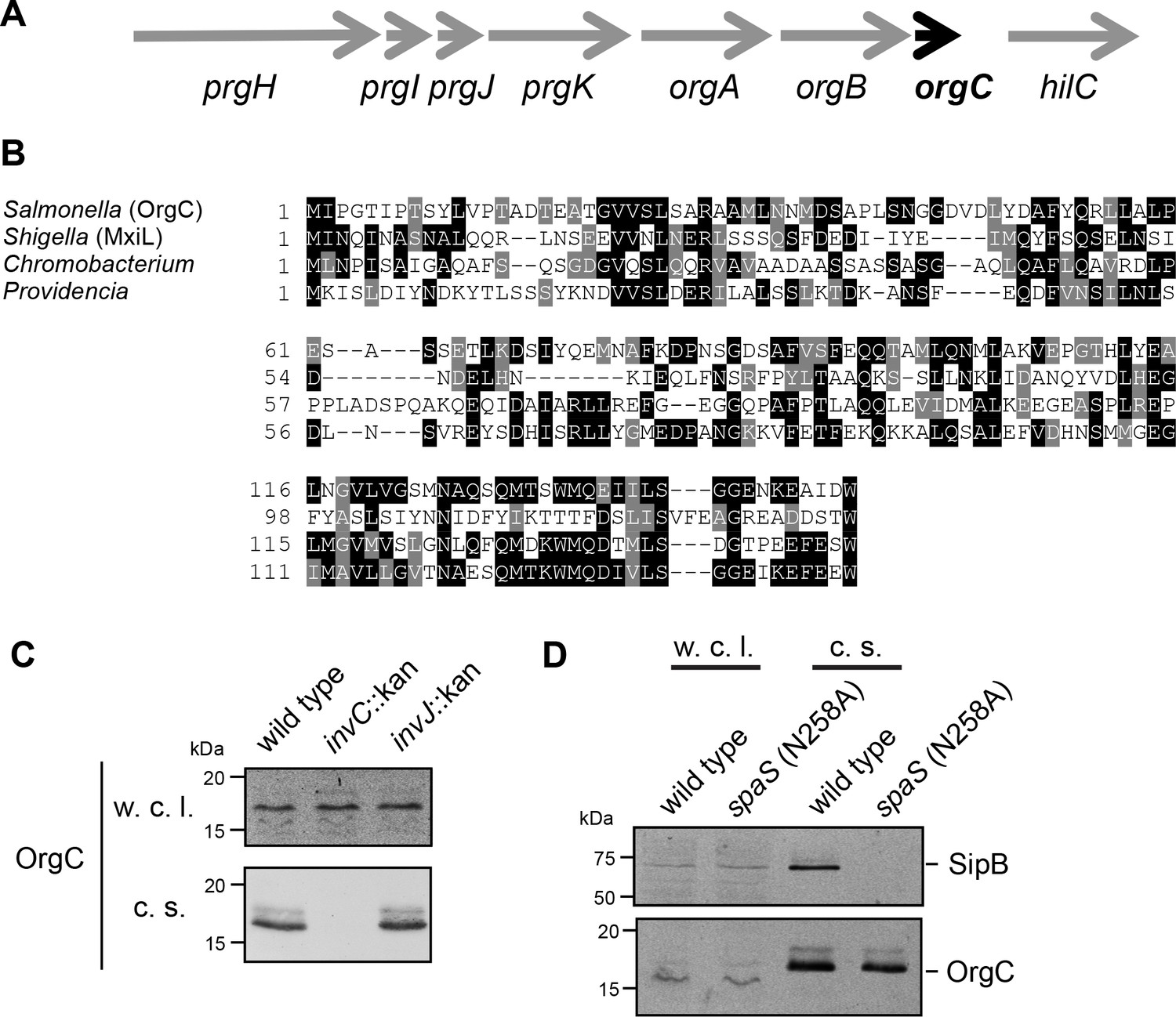 A protein secreted by the Salmonella type III secretion system