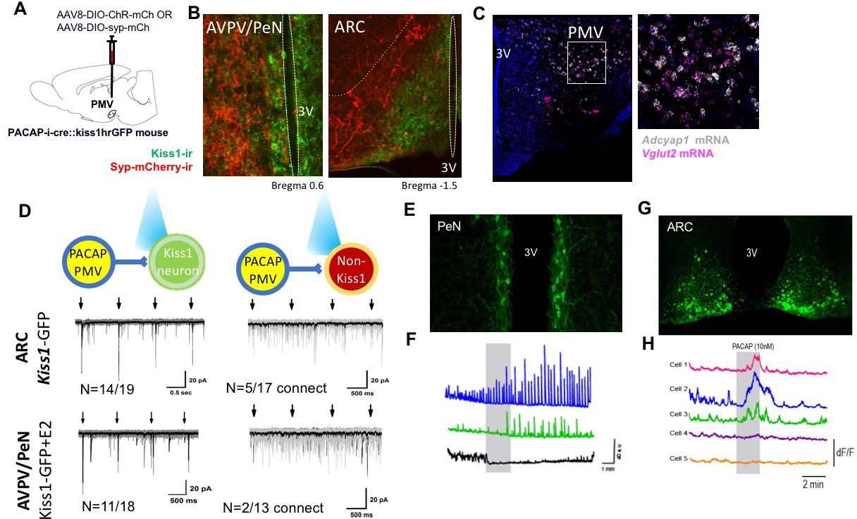 Pacap Neurons In The Ventral Premammillary Nucleus