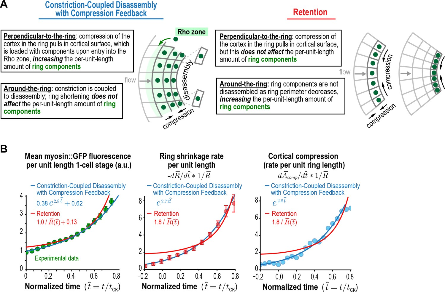 5eddfb871d Myosin accumulation and the rates of ring constriction and cortical  compression can be approximated with a retention model but are fit better  by the ...