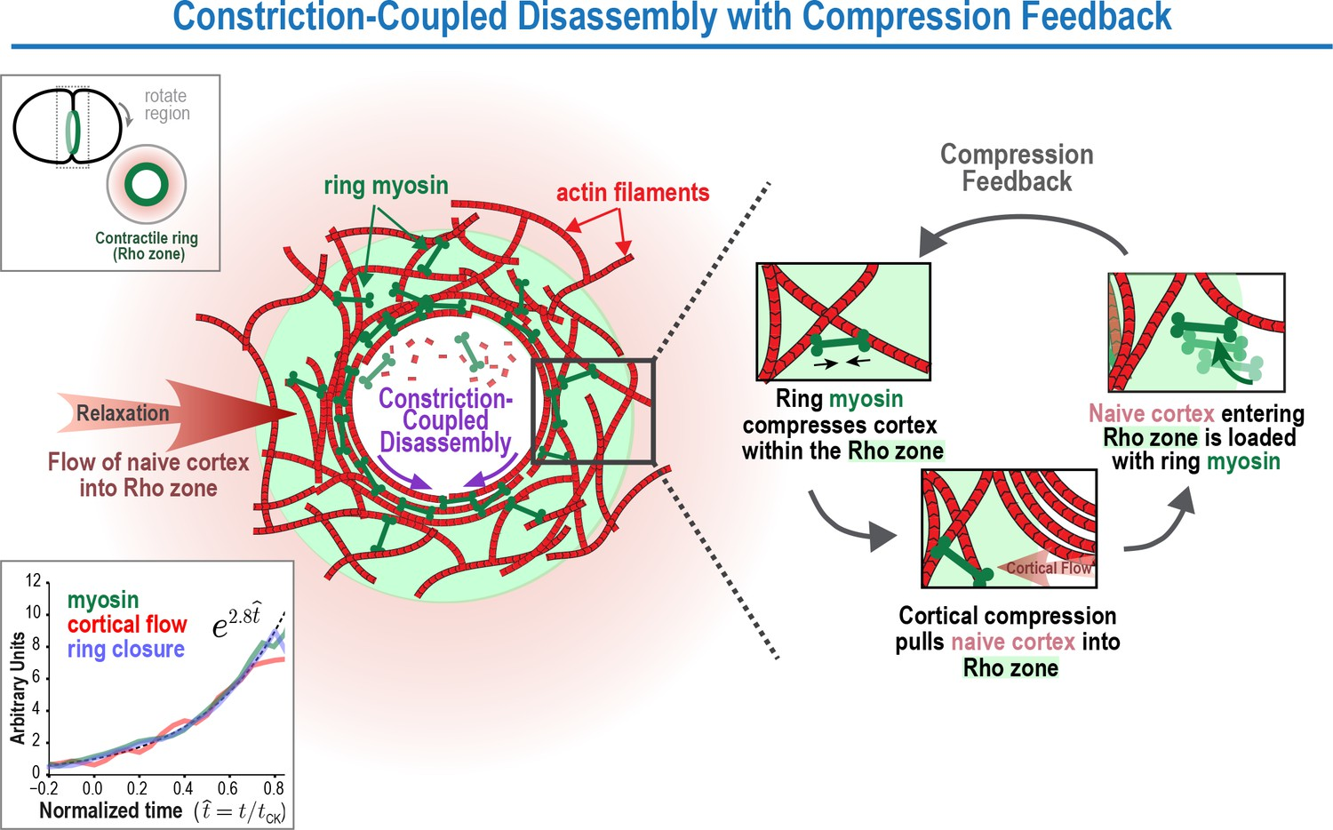 A Positive Feedback Based Mechanism For Constriction Rate 26 Ring Counter Logic Diagram B Timing The Coupled Disassembly With Compression Model Contractile Dynamics During Cytokinesis