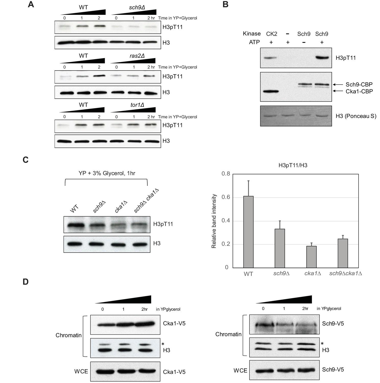 Histone H3 threonine 11 phosphorylation by Sch9 and CK2