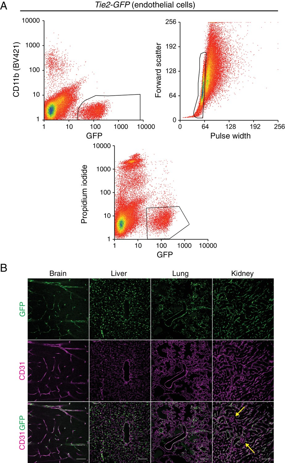 Transcriptional And Epigenomic Landscapes Of Cns Non G2 Schematicjpg 984 Kb 114 Views Tie2 Gfp Transgenic Mouse Enables Isolation Ecs