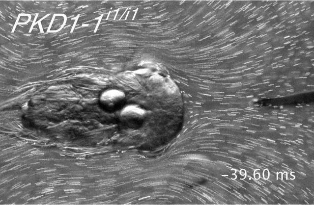 Neural circuitry of a polycystin-mediated hydrodynamic