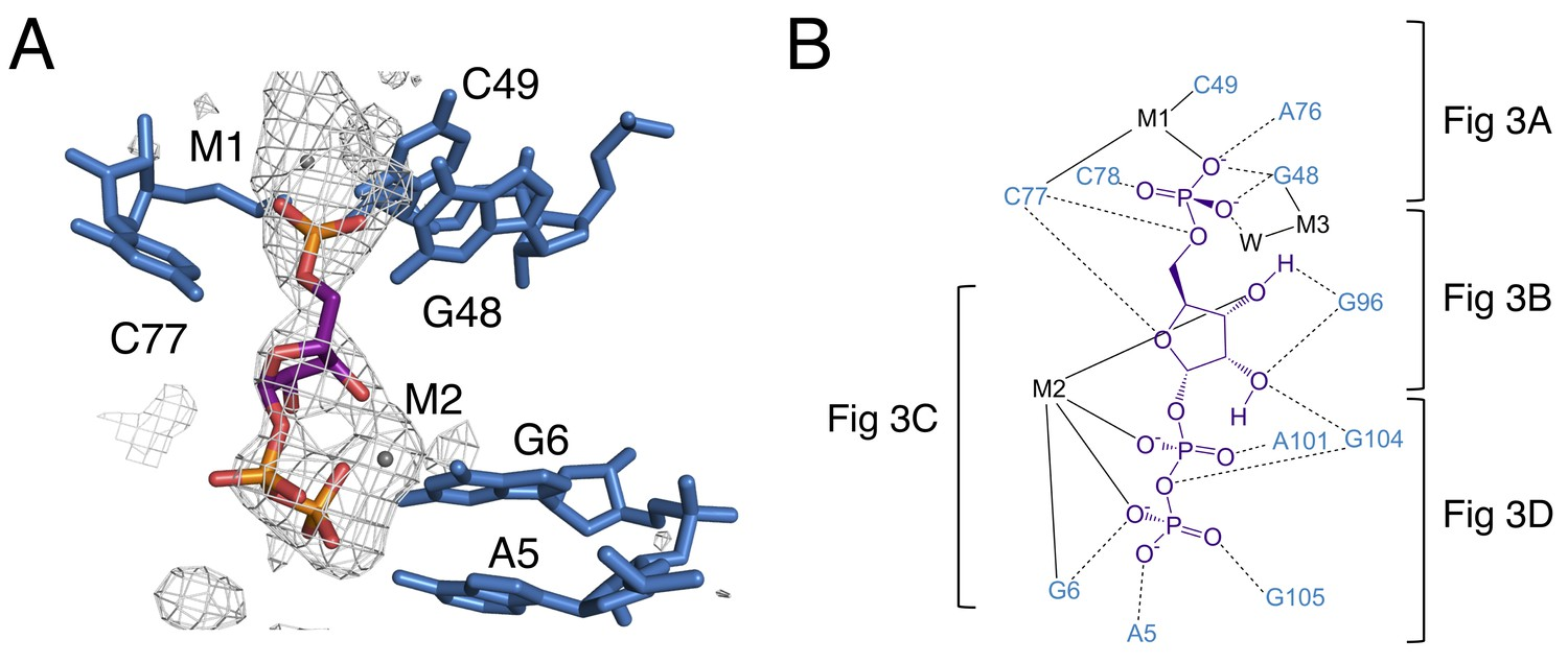 Structures Of Two Aptamers With Differing Ligand Specificity Reveal How Does A Circuit Breaker Work1 The Binding Pocket Prpp Riboswitch