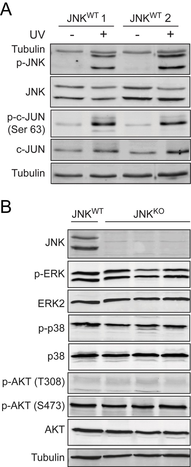 Figures and data in The cJUN NH2-terminal kinase (JNK) signaling