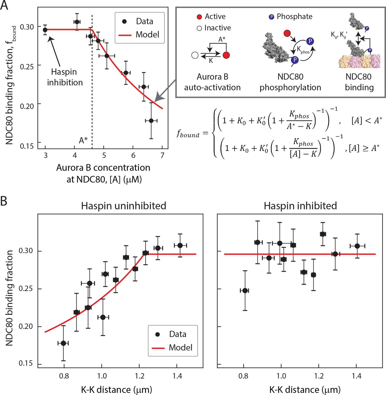 Measuring NDC80 binding reveals the molecular basis of