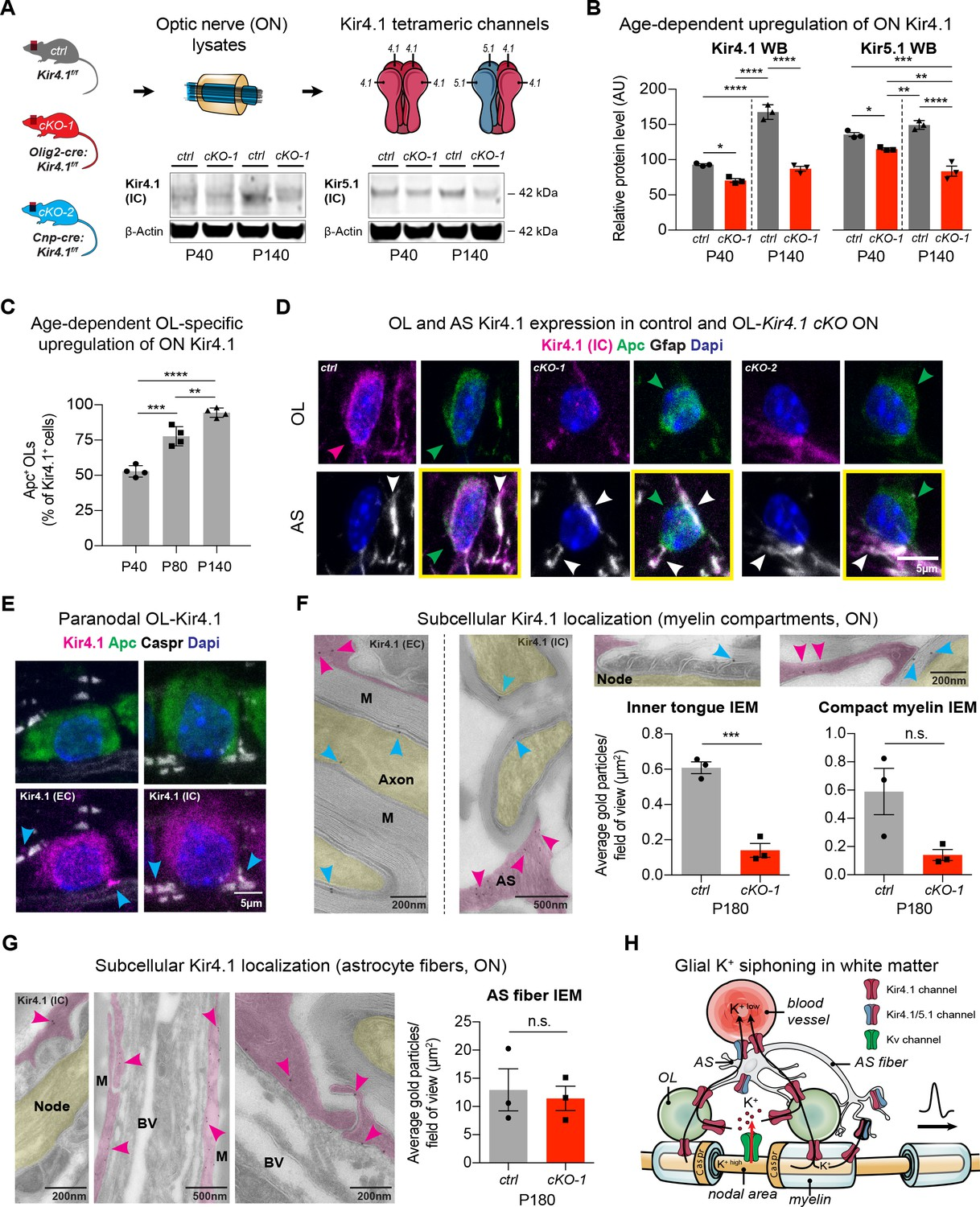 Oligodendrocyte Encoded Kir41 Function Is Required For Axonal Measure External Voltage Electrical Engineering Stack Exchange Ol Upregulated During Postnatal Development And Localized To Peri Spaces