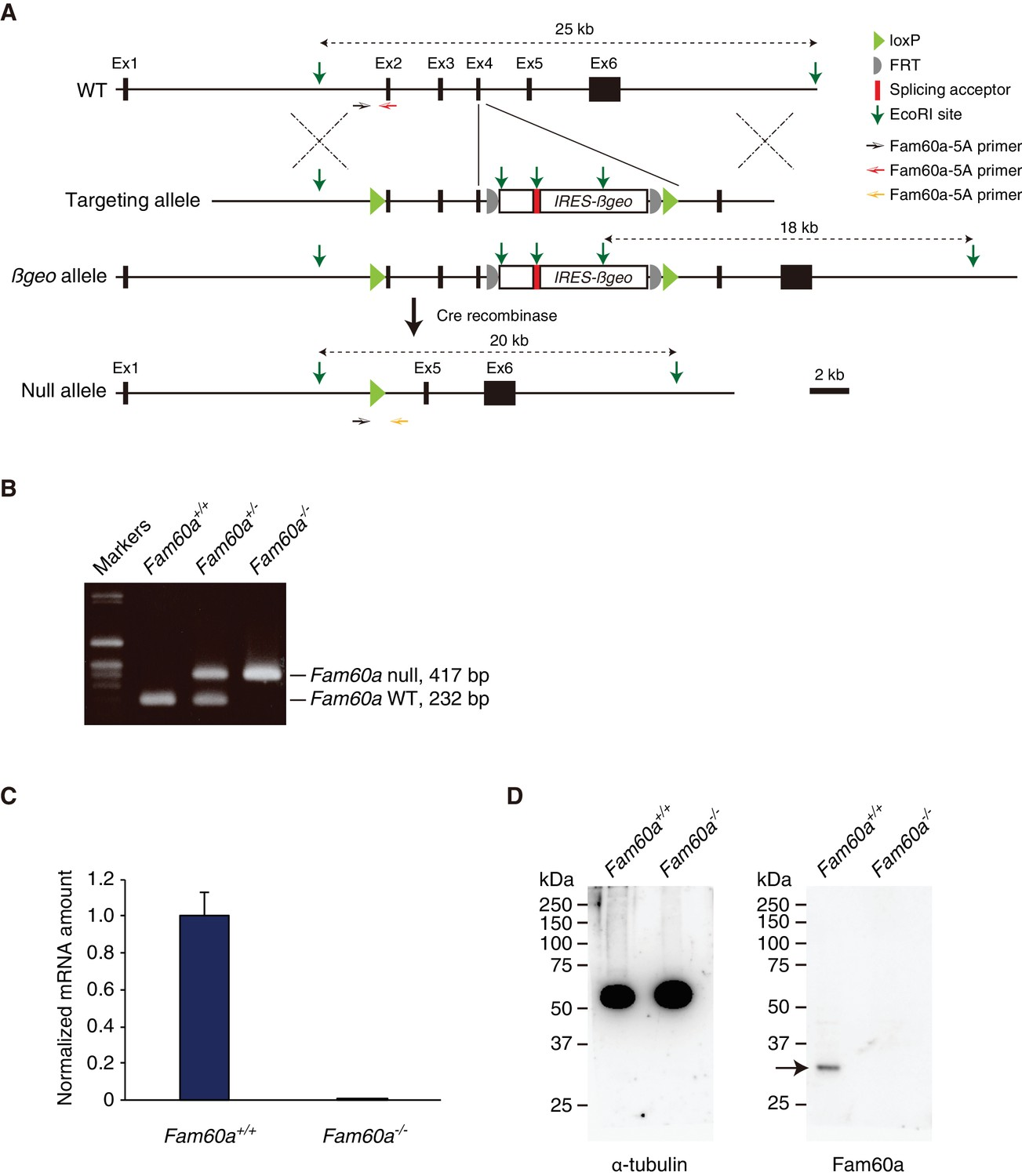 Loss Of Fam60a A Sin3a Subunit Results In Embryonic Lethality And Ford Fusion V6 3 0 Fuse 48 Diagram Generation Mutant Mice