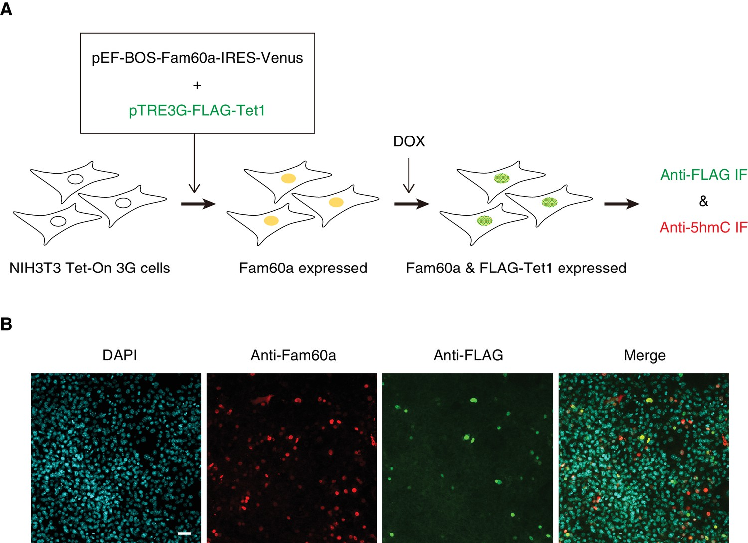Loss Of Fam60a A Sin3a Subunit Results In Embryonic Lethality And Ford Fusion V6 3 0 Fuse 48 Diagram Experimental Strategy For Expression Venus Inducible Flag Tet1 Nih3t3 Cells