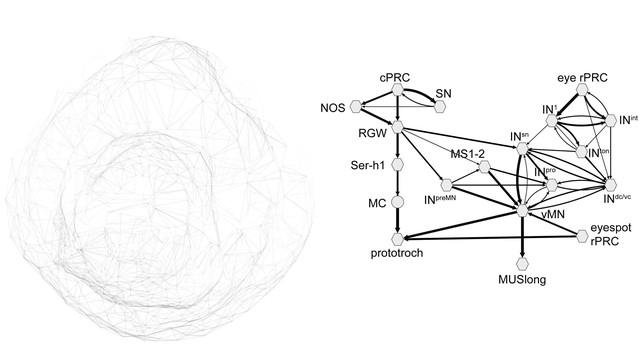 ciliary and rhabdomeric photoreceptor
