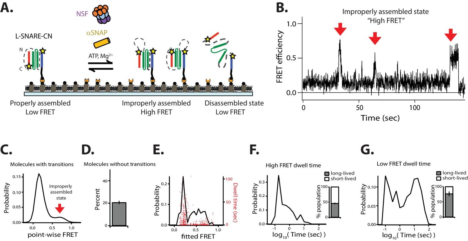 NSF-mediated disassembly of on- and off-pathway SNARE