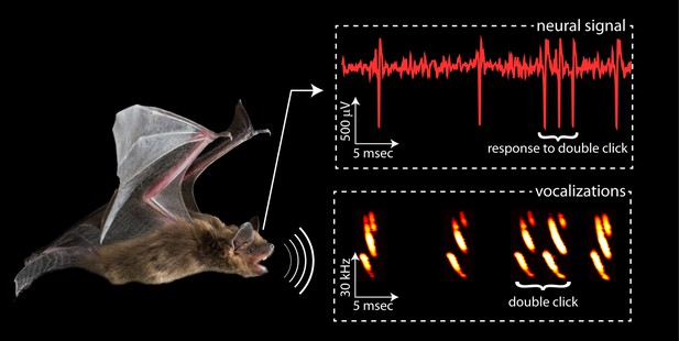 Echolocation  Smart Bats Click Twice