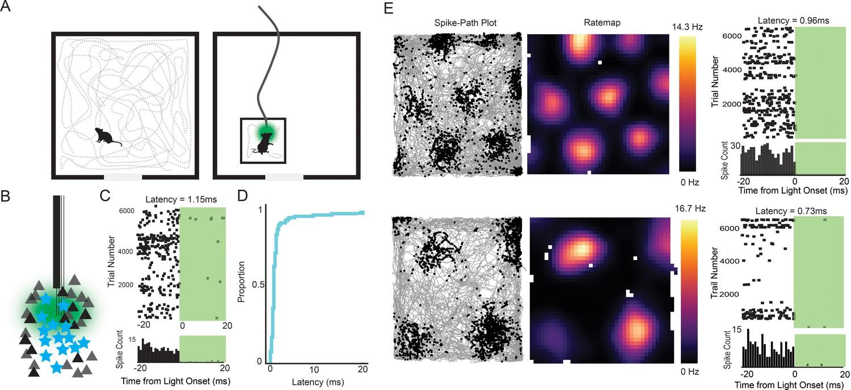 Functional properties of stellate cells in medial entorhinal cortex