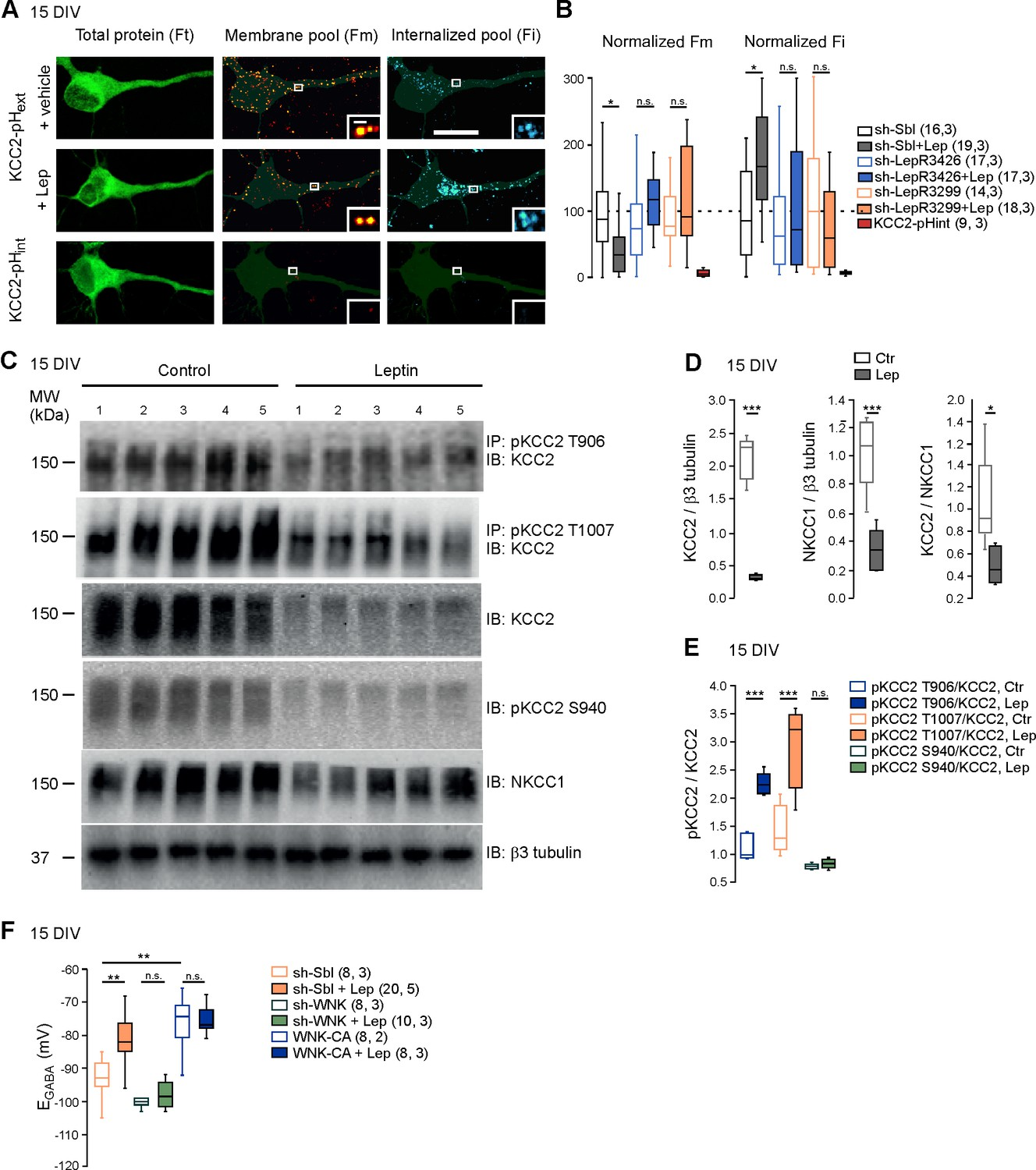 The Adipocyte Hormone Leptin Sets Emergence Of Hippocampal Wiring Diagram 50 Amp For Rv Also Dish Hopper Reduces Plasma Membrane Expression Kcc2 And Modulates Its Phosphorylation State In Cultured Neurons