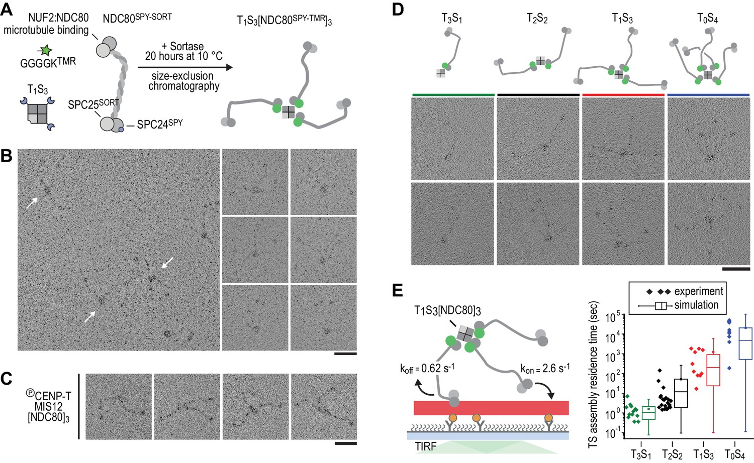 Multivalency Of Ndc80 In The Outer Kinetochore Is Essential To Track Free Body Diagram Showing Applied Force Only Partially Incremental Addition Results Hyperstable Microtubule Binding