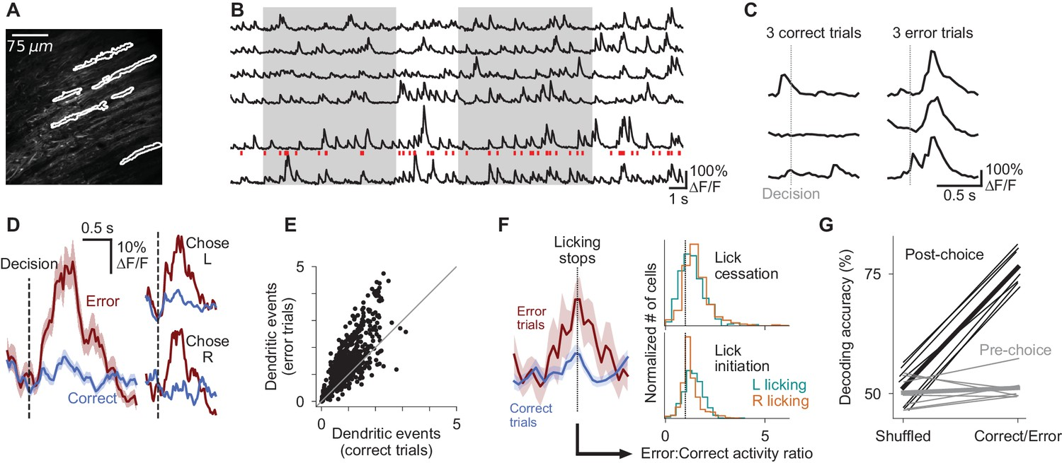 Cerebellar Involvement In An Evidence Accumulation Decision Making This Is A Phase Split Diagram For 100 Second Signal Cycle The Purkinje Cell Dendrites Encode Errors