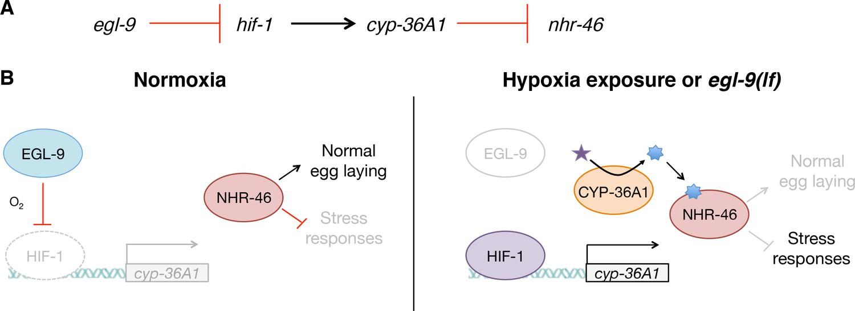 Hypoxia-inducible factor cell non-autonomously regulates C