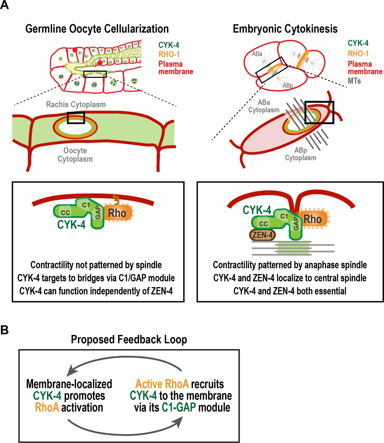 Cyk 4 Functions Independently Of Its Centralspindlin Partner Zen 4