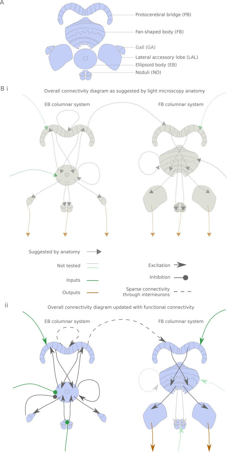 Research Identifies Complex Of Neurons >> Building A Functional Connectome Of The Drosophila Central Complex
