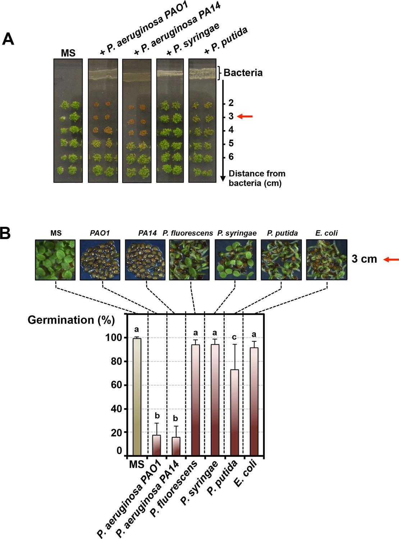 The plant pathogen Pseudomonas aeruginosa triggers a DELLA-dependent