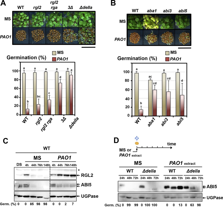 The Plant Pathogen Pseudomonas Aeruginosa Triggers A Della Dependent