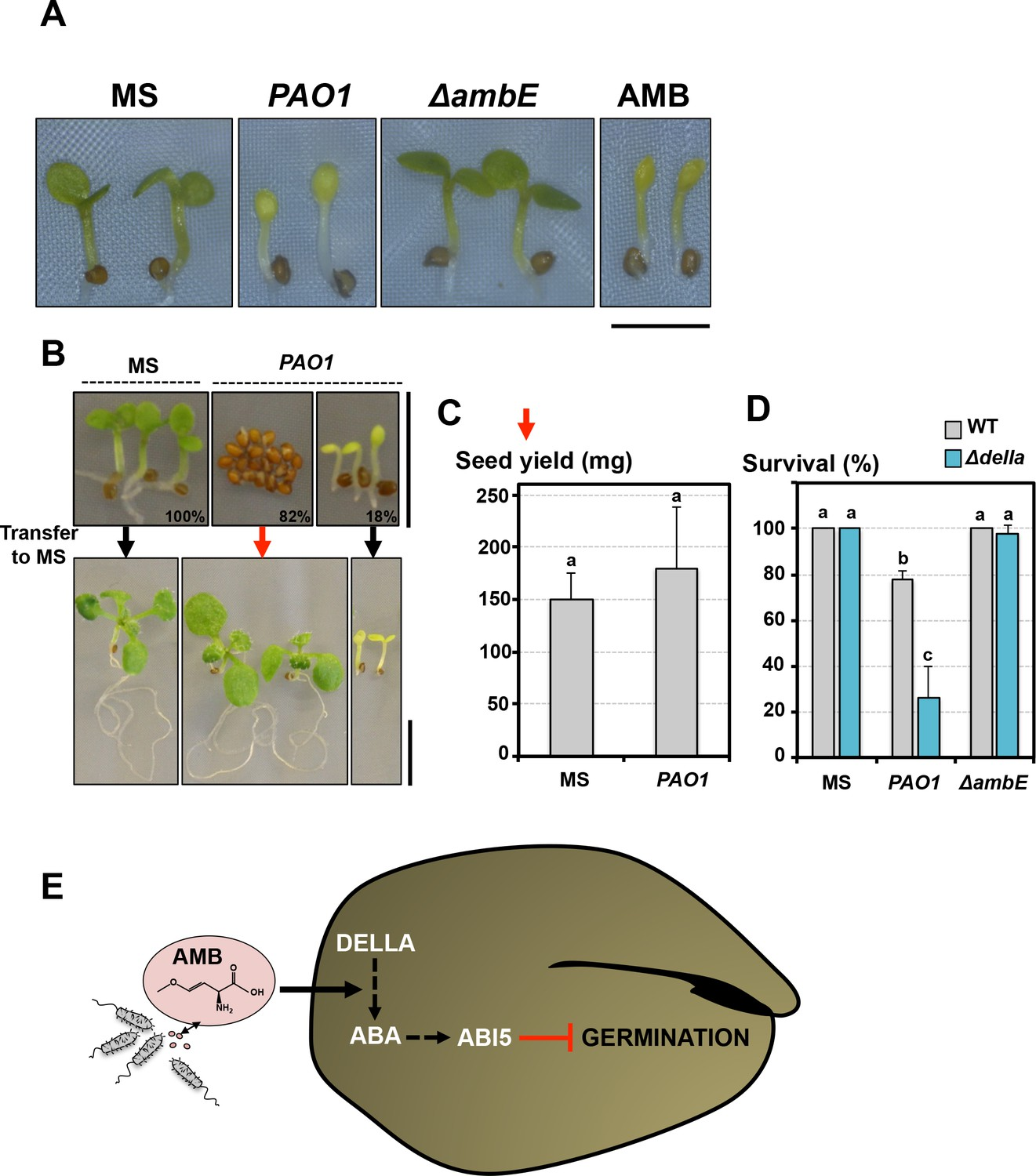 The Plant Pathogen Pseudomonas Aeruginosa Triggers A Della Dependent Germination Diagram It Works From Arrested Seeds Are Protected Developmental Abnormalities Triggered By Amb