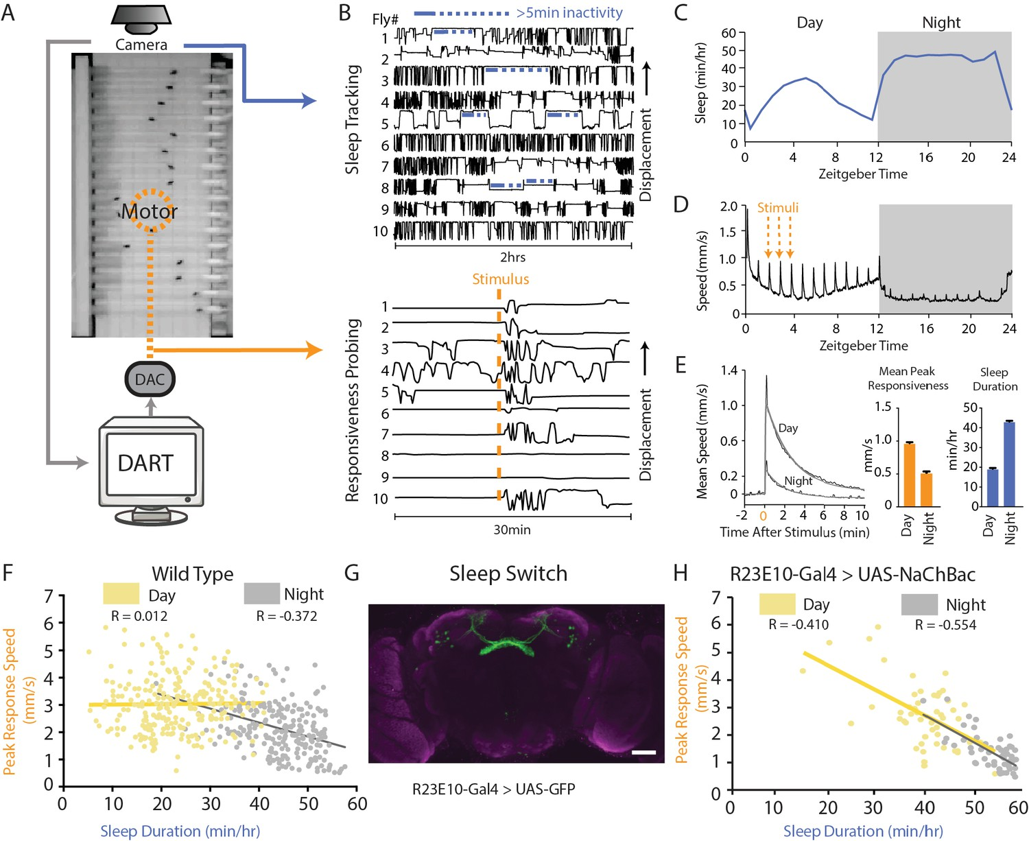 Acute control of the sleep switch in Drosophila reveals a role for gap  junctions in regulating behavioral responsiveness   eLifeDOI.org