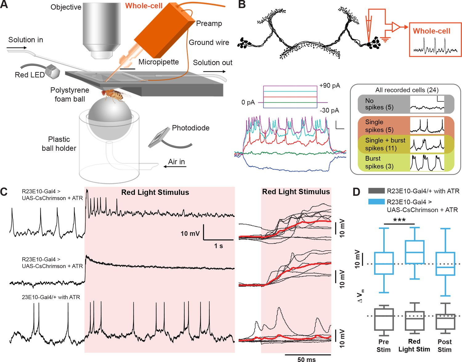 Acute Control Of The Sleep Switch In Drosophila Reveals A Role For Snap Circuits Xp With Your Computer Electrophysiological Effects Acutely Activating R23e10 Neurons