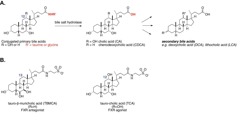 A Selective Gut Bacterial Bile Salt Hydrolase Alters Host Metabolism